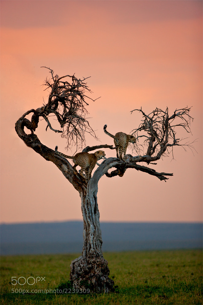 Photograph Cheetah 16 by catman / www.suhaderbent.com on 500px