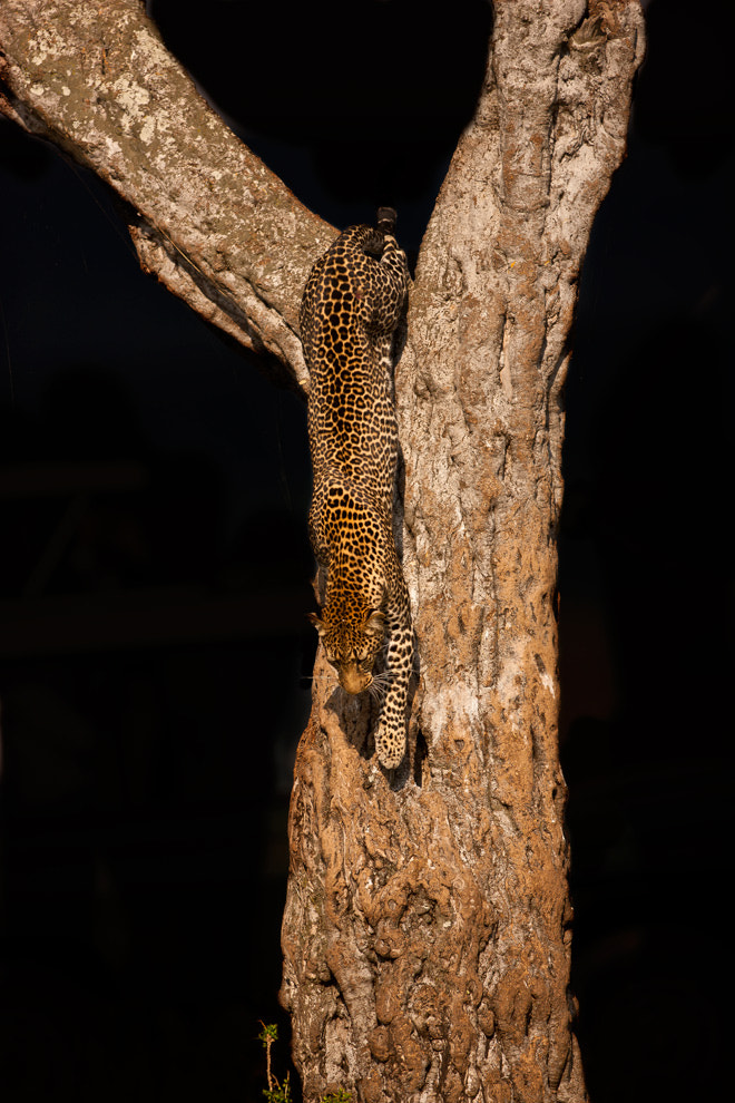 Photograph Leopard 18 by catman / www.suhaderbent.com on 500px