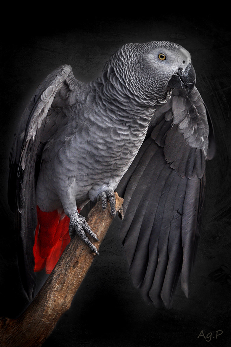 Photograph Parrot by agnes panisset on 500px