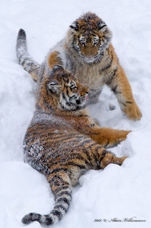 Photograph games young tigers by Alain Villeneuve on 500px