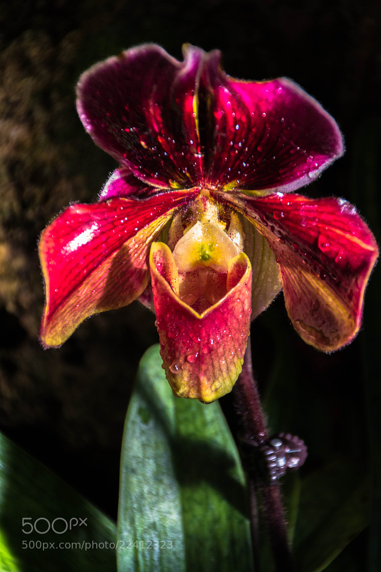 Photograph Orchid by Ursula Hubert Lawrence on 500px