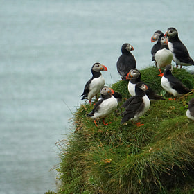 Photograph puffinTribe by Lukas Bachschwell
