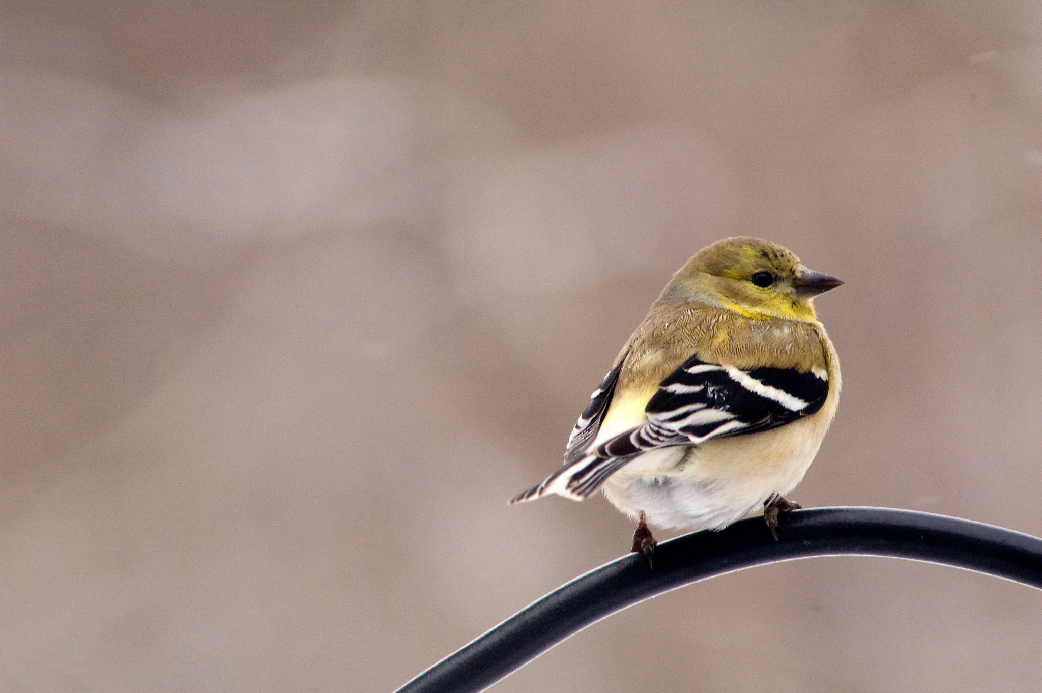 Photograph American Goldfinch by Roxane Bay on 500px