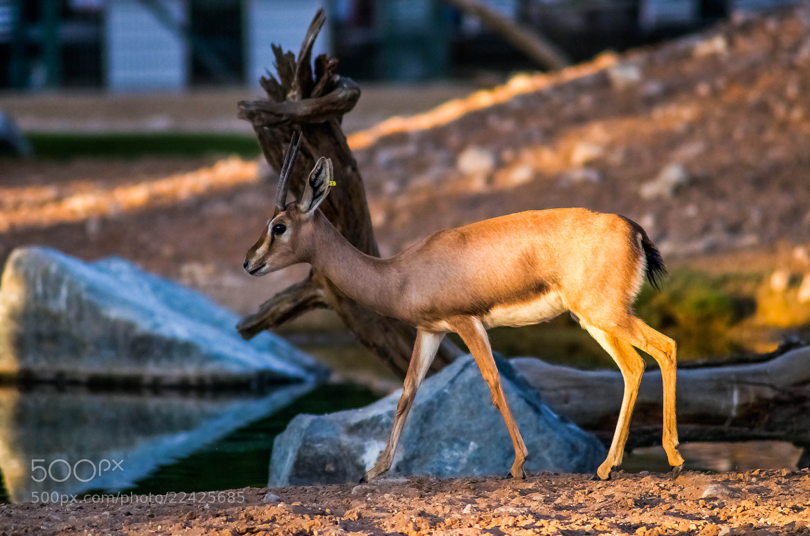 Photograph The Gazelle   by julian john on 500px