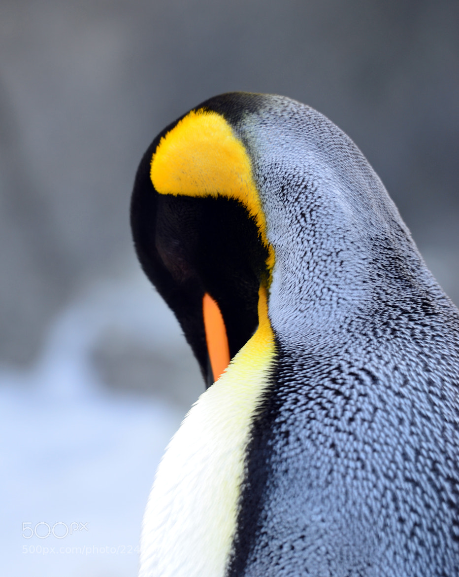 Photograph Penguin by Thomas Kennedy on 500px