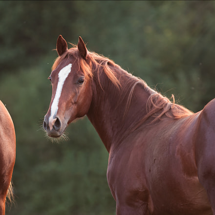 Quarter Horse yearling
