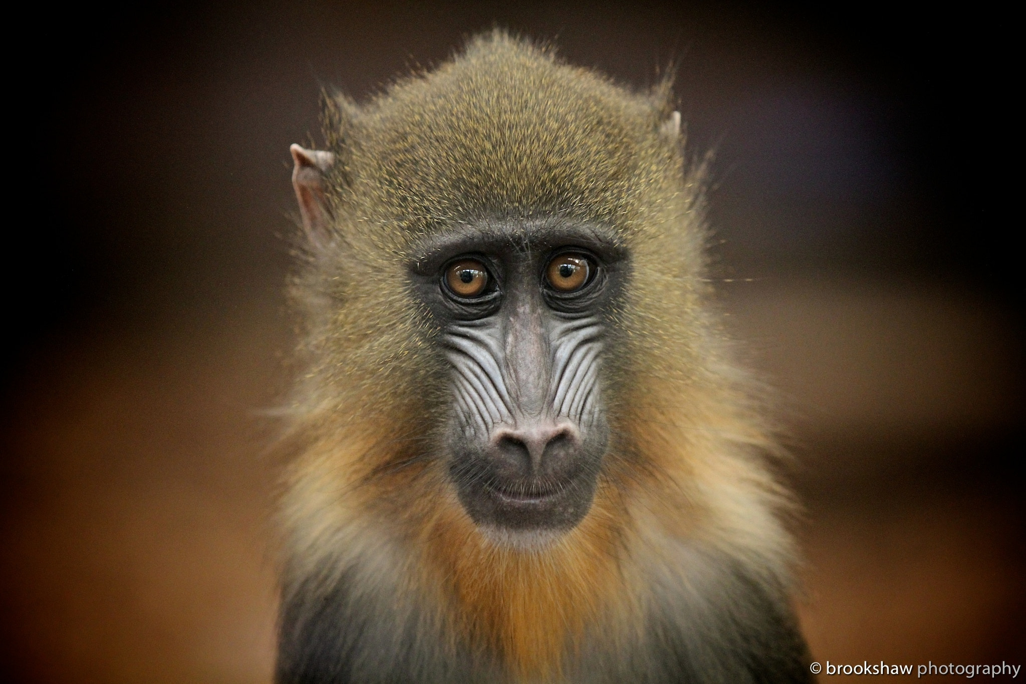 Photograph Portrait Of A Mandrill by Gary Brookshaw on 500px