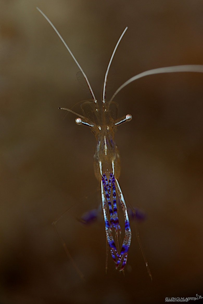 Photograph 'I had too much coffee' shrimp by Ellen Cuylaerts on 500px