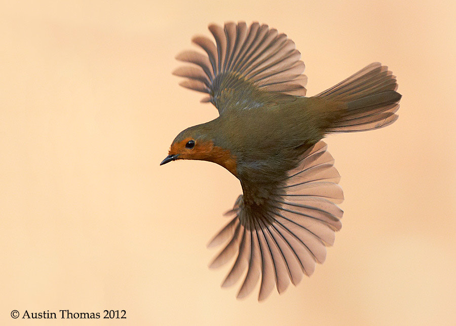 Robin in flight...