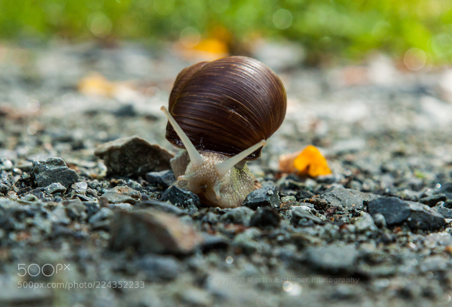 apple snail (Helix pomatia) at the ground 19082017