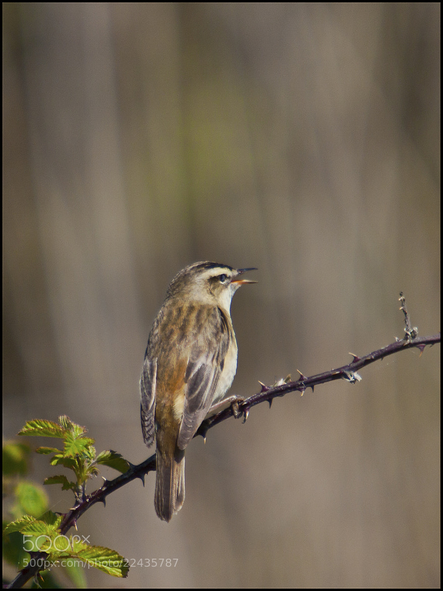 Photograph Sedge Warbler (Acrocephalus schoenobaenus)  by Ray Jones on 500px