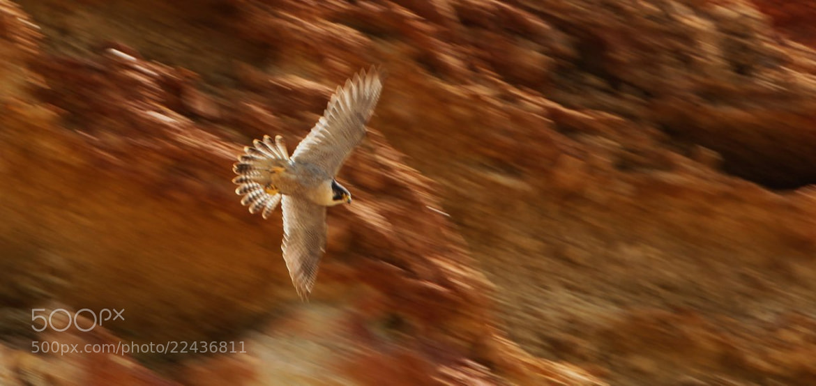 Photograph barrido del vuelo halcon   by Carlos Romero on 500px