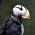 Portrait of a beautiful Horned Puffin