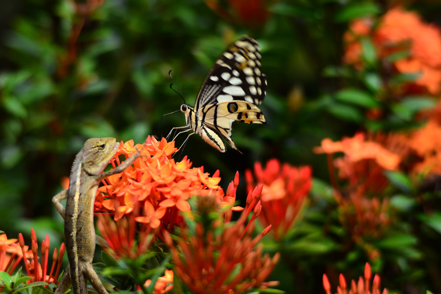 Photograph Lizard n Butterfly by Khoo Boo Chuan on 500px