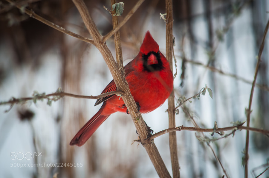 I love cardinals; especially when they look right at you.