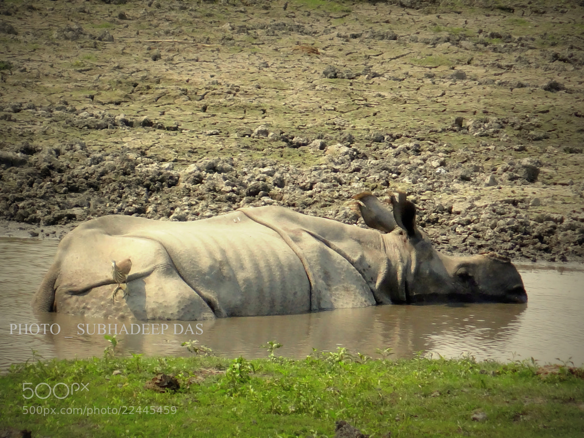 Photograph RHINO BATH (INDIAN ONE HORNED RHINO_ HORN MISSING LOL) by SUBHA   on 500px