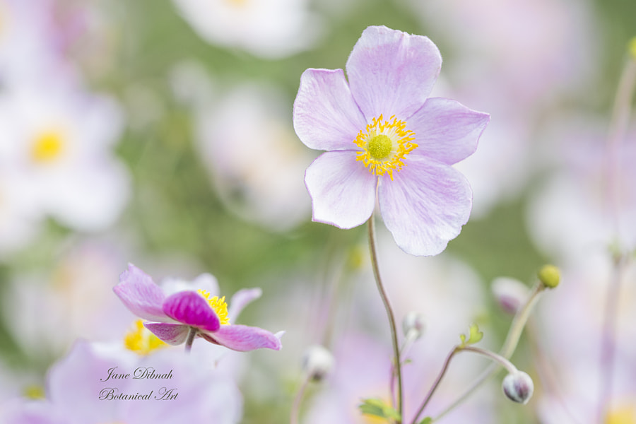 Japansese anemone by Jane Dibnah on 500px.com