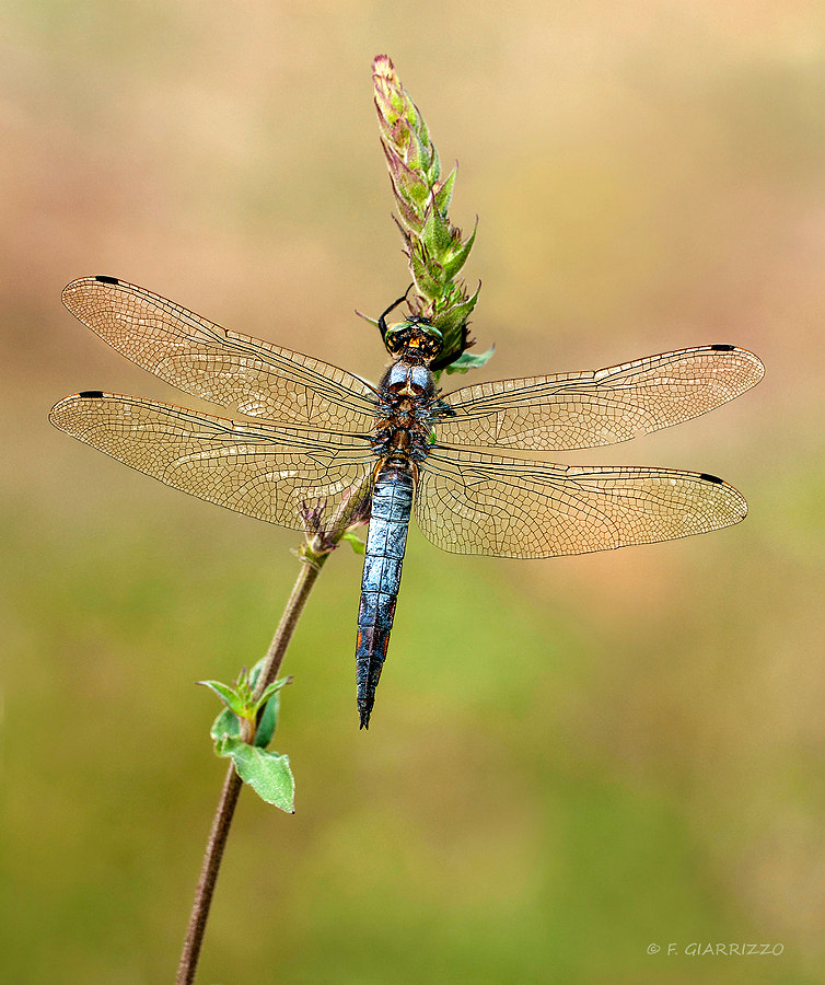 Photograph A dragonfly by Fabio Giarrizzo on 500px