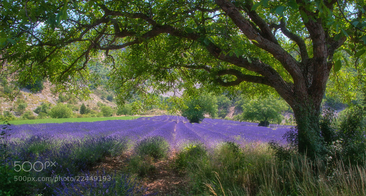 Photograph Lavender Blooming by Hartmut Albert on 500px