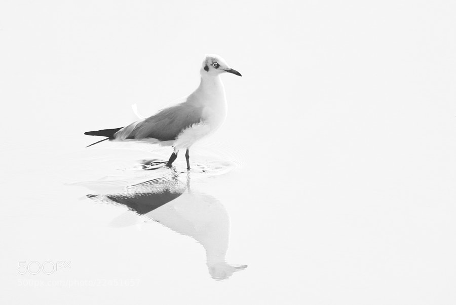 Photograph Seagull at Bangpu by Nop Puttavibul on 500px