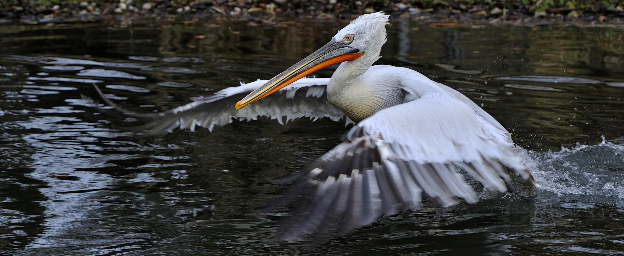 Photograph Pelican Take Off by Josef Gelernter on 500px