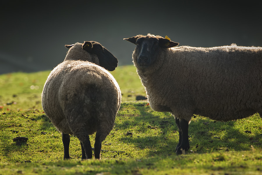Photograph Sheeps by Stéphane ABCDEF on 500px