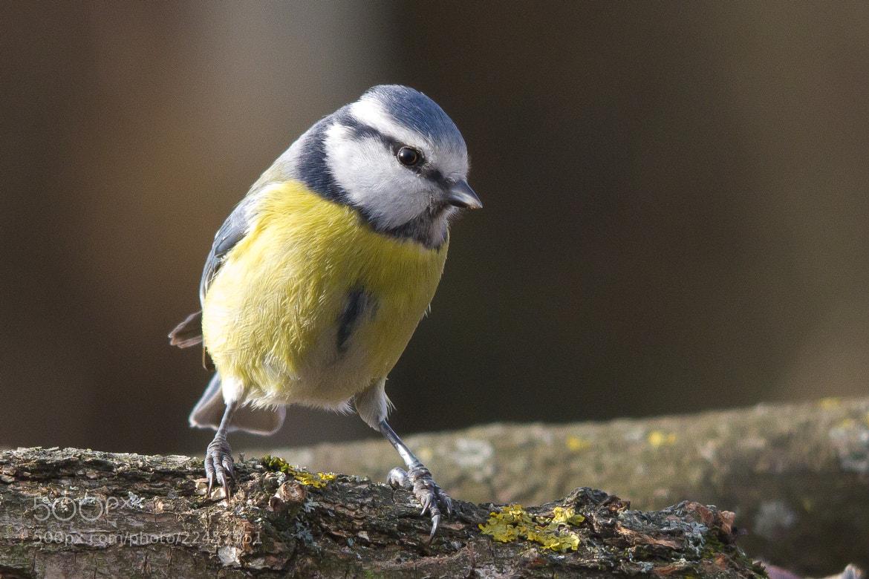 Photograph Blue tit (Cyanistes caeruleus) by Roland Deme on 500px