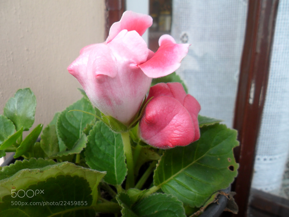 Photograph Pink Flower by Lilian de Oliveira on 500px