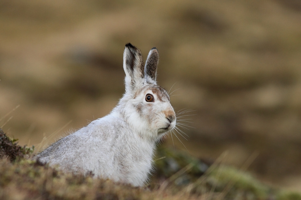 Photograph Scottish Mountain Hare (Lepus timidus) by Andy Howard on 500px