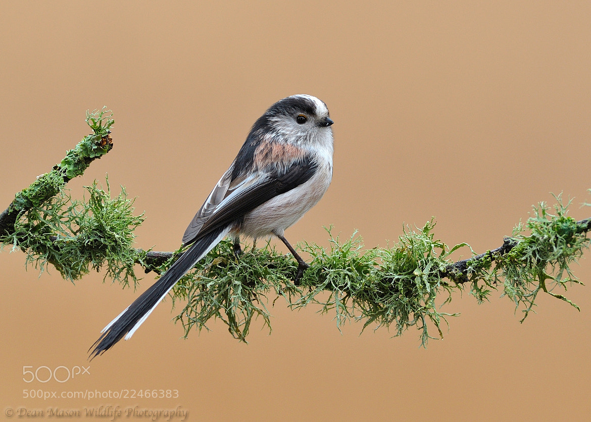 Photograph Long Tailed Tit ( Last One for now ) by Dean Mason on 500px