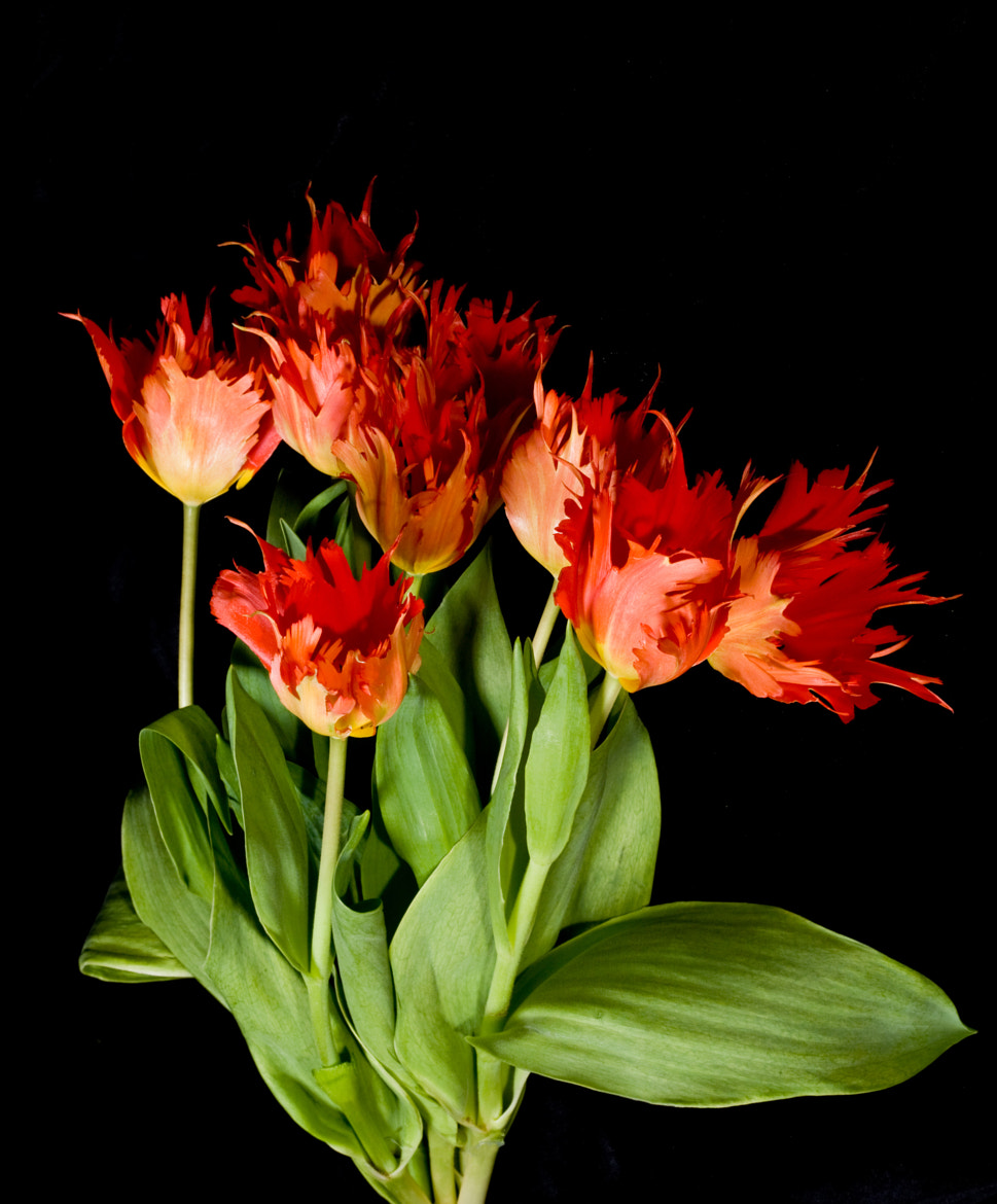 Photograph Red Tulips by Dorothy Brodsky on 500px