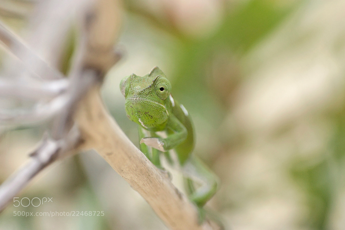 Photograph Chameleon eye by Christophe Candela on 500px