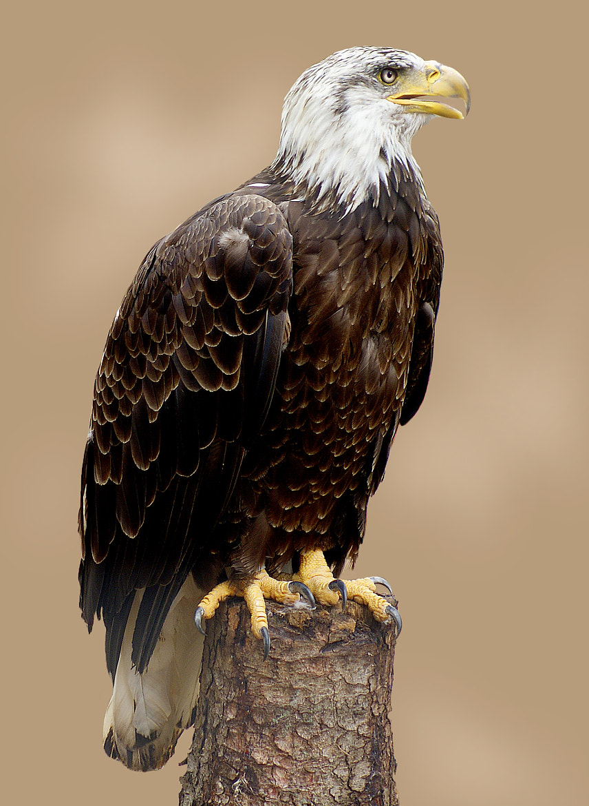 Photograph Eagle 1 by Brian Masters on 500px