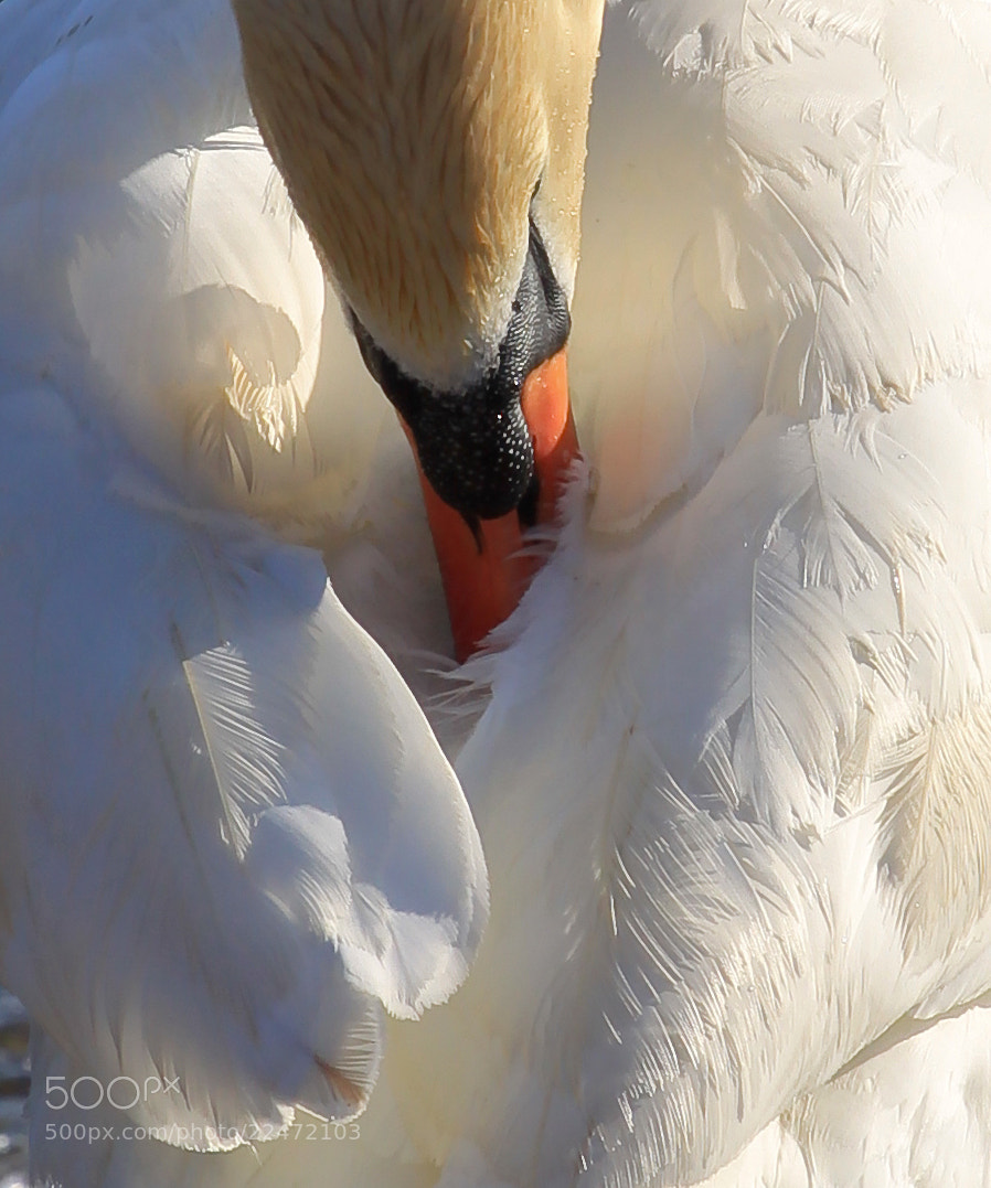 Photograph Swan by Emiliano Serra on 500px