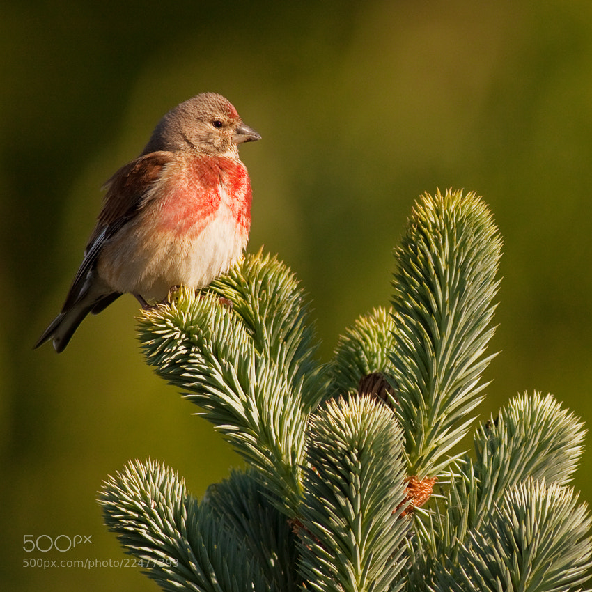 Photograph Carduelis cannabina by Richard Krchnak on 500px
