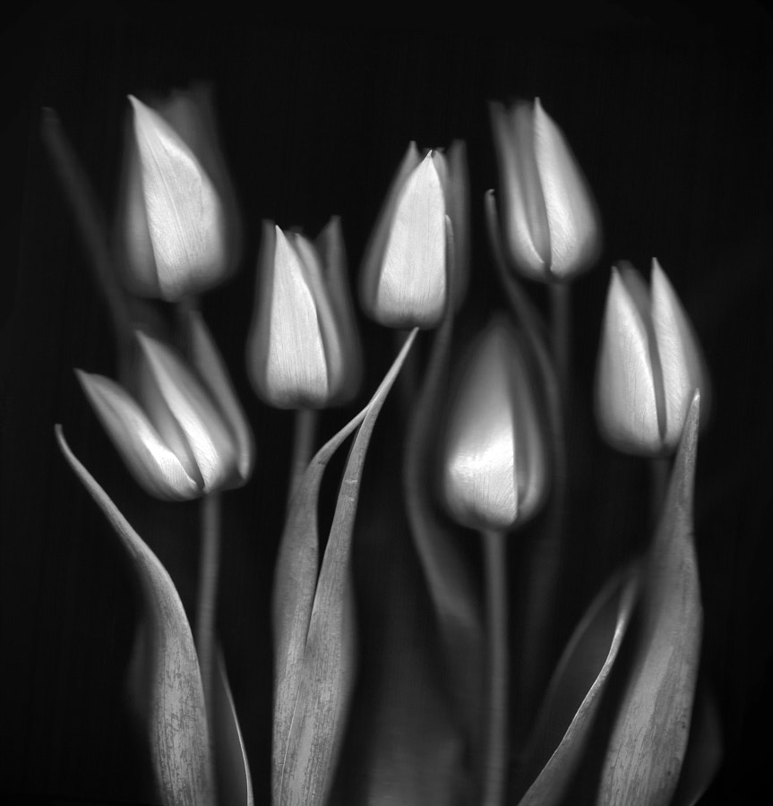 Tulips by Brian Haslam on 500px.com