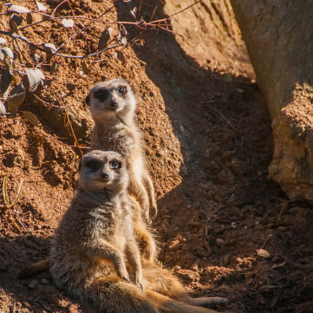 A pair of meerkats