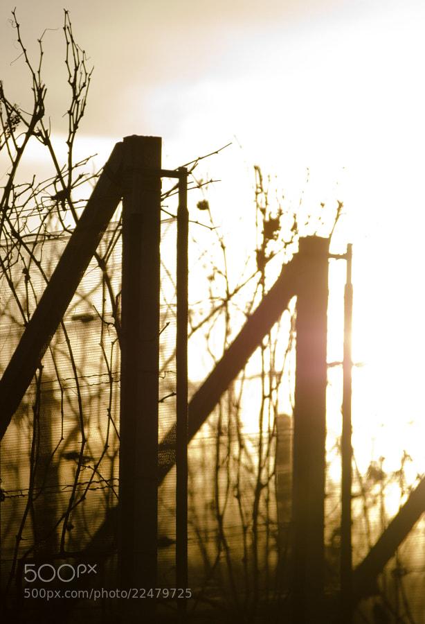 Sunset on a vineyard in Corteglia (Switzerland)