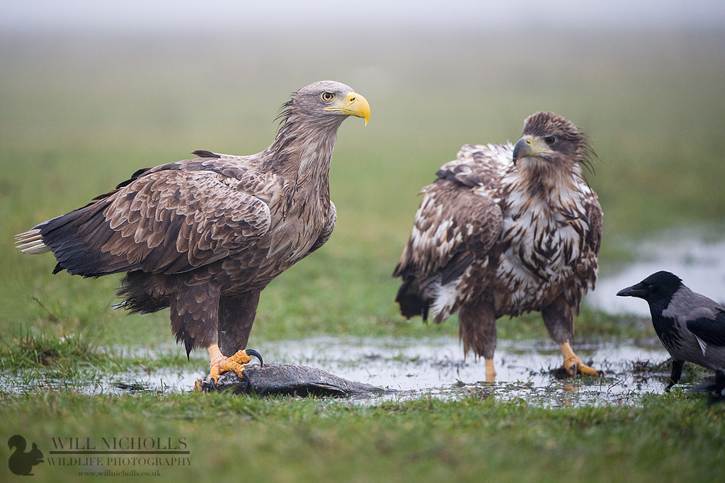 Photograph White-Tailed Eagles by Will Nicholls on 500px