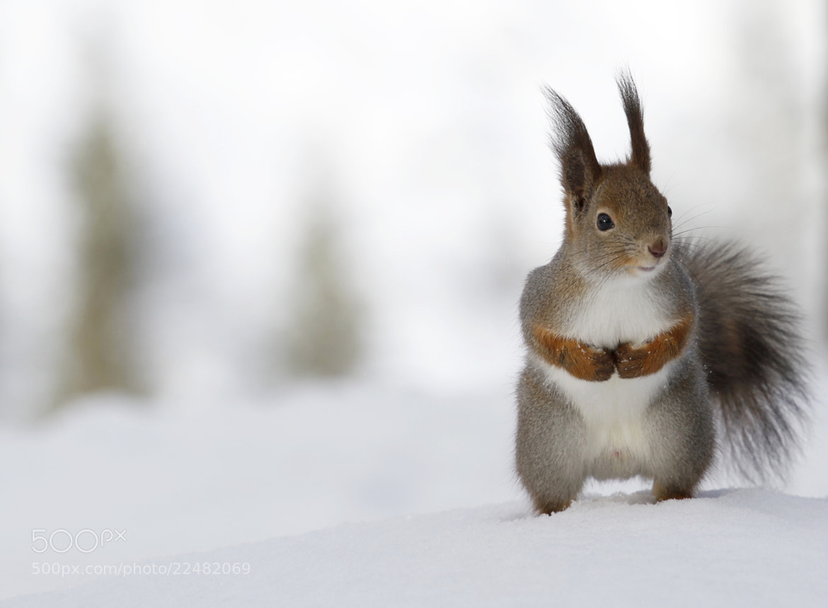 Photograph Red squirrel by Jukka Palm on 500px