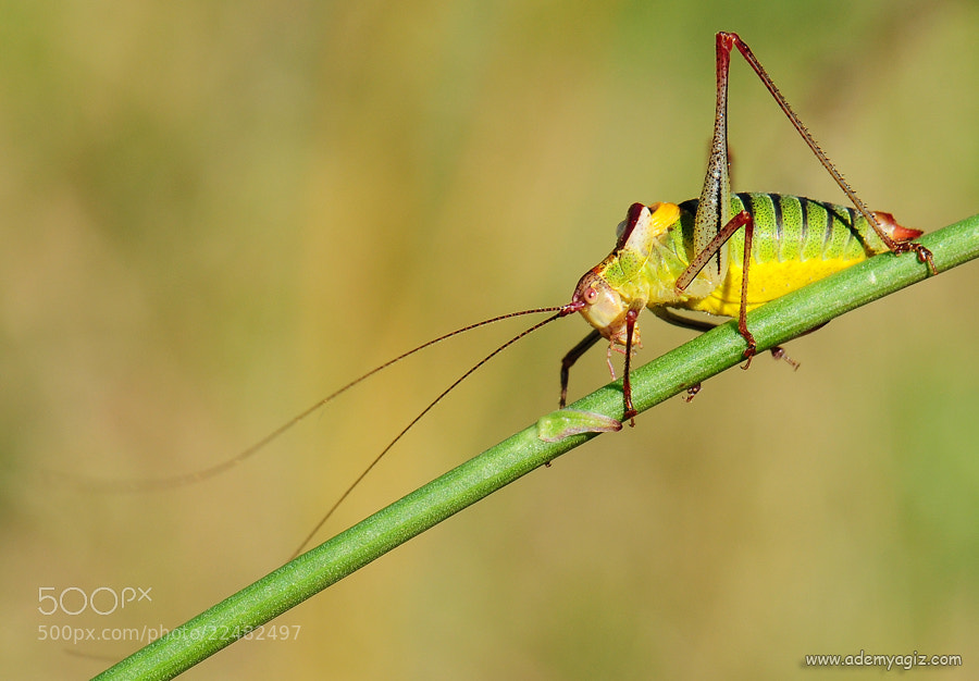 Photograph Çekirge (grasshopper) by Adem Yağız on 500px