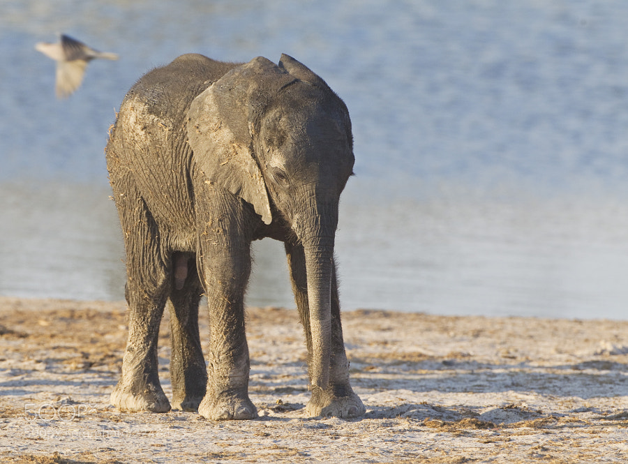 Taken at Ngweshla Waterhole, Hwange NP, Zimbabwe, 2nd September 2011