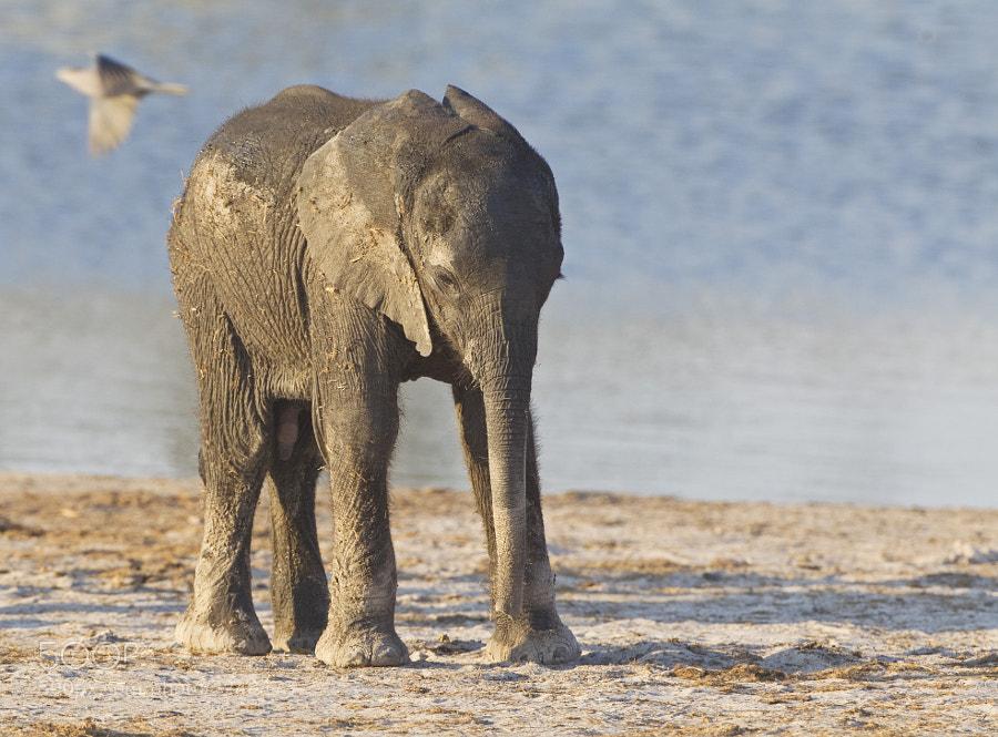 Taken at Ngweshla Waterhole, Hwange NP, Zimbabwe, 2nd September 2011