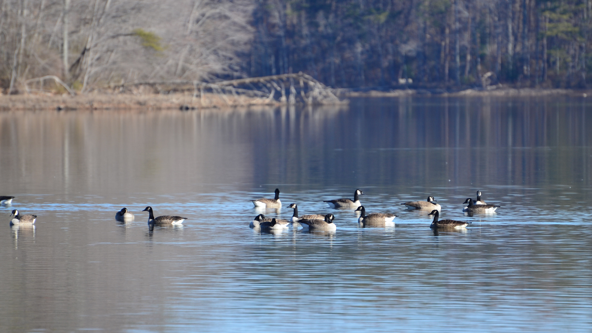 Photograph Geese at Burke Lake  by Ioana Colfescu on 500px