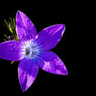 Purple purity...
