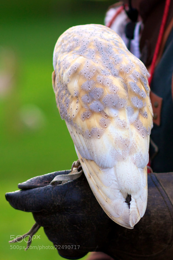 Barn Owl [02-52] by Ben Huckle (BenHuckle)) on 500px.com