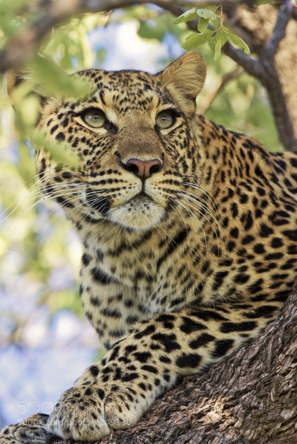 "Despite the ""pesky"" leaves this is one of my favourite Leopard images. Taken in  Kwando Concession, Botswana,  12th March 2008"