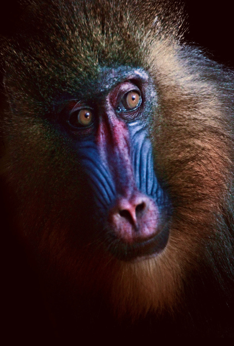 Photograph Mandril ... by Antonio Garcia on 500px