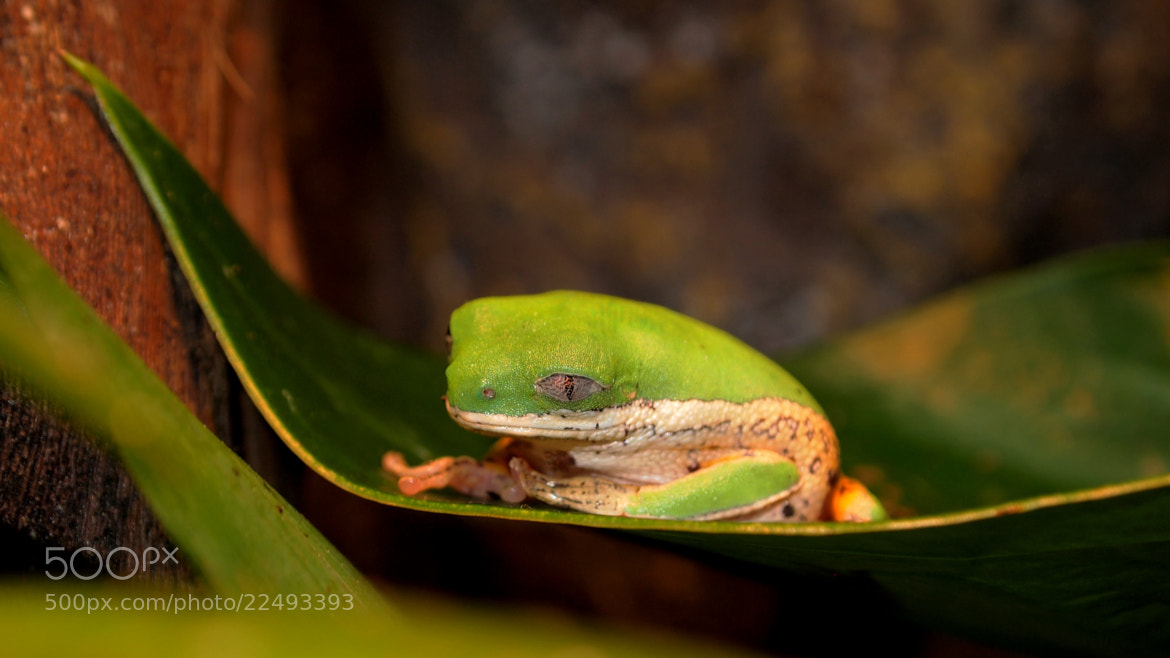 Photograph Tree Frog by Christian Bauer on 500px