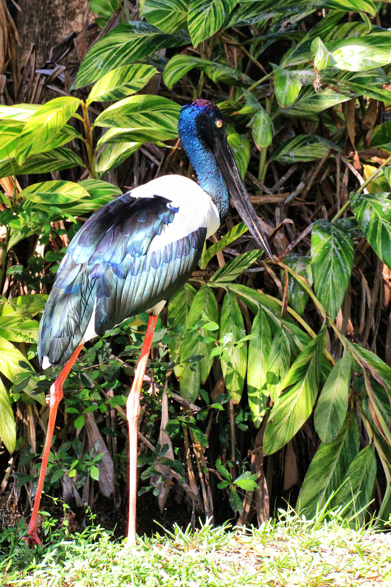 Photograph BLACK NECKED STORK by LOUIS B.  O'NEILL on 500px
